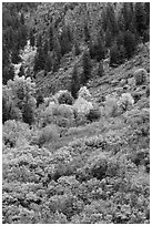 Slopes with Douglas fir and shrubs. Black Canyon of the Gunnison National Park, Colorado, USA. (black and white)