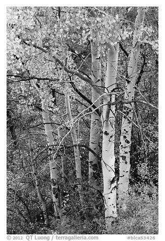 Aspen in fall. Black Canyon of the Gunnison National Park (black and white)