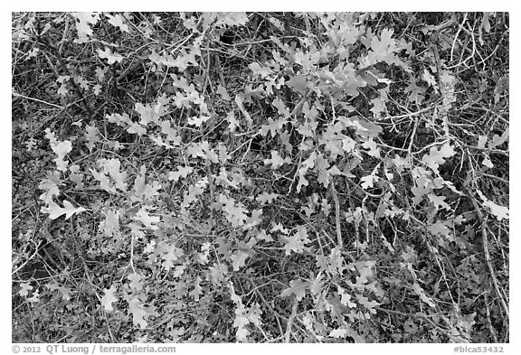Gambel Oak and leaves. Black Canyon of the Gunnison National Park (black and white)