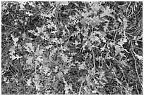 Gambel Oak and leaves. Black Canyon of the Gunnison National Park, Colorado, USA. (black and white)