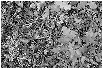 Close-up of Oak leaves in autumn. Black Canyon of the Gunnison National Park, Colorado, USA. (black and white)