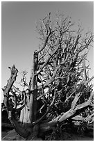 Bristlecone pine trees with many branches. Bryce Canyon National Park, Utah, USA. (black and white)