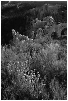 Wildflowers, conifers and hoodoos. Bryce Canyon National Park ( black and white)
