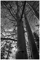 Aspens in autumn foliage and sun. Bryce Canyon National Park ( black and white)