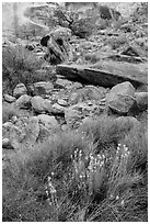 Wildflowers and rocks, the Maze. Canyonlands National Park, Utah, USA. (black and white)
