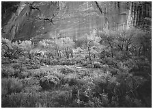 Sagebrush, trees, and cliffs with desert varnish at dusk. Capitol Reef National Park, Utah, USA. (black and white)