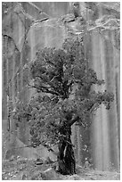 Tree and rock wall, Grand Wash. Capitol Reef National Park, Utah, USA. (black and white)