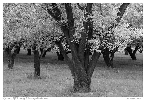 Historic Mulford Orchard, late summer. Capitol Reef National Park (black and white)
