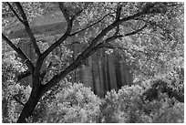 Cottonwood and red cliffs in late summer. Capitol Reef National Park, Utah, USA. (black and white)