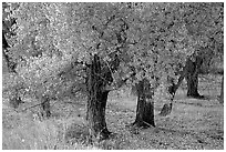 Orchard trees in fall foliage, Fuita. Capitol Reef National Park, Utah, USA. (black and white)