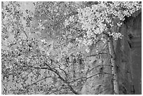 Aspen in fall foliage against red cliff. Capitol Reef National Park, Utah, USA. (black and white)