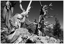 Bristlecone Pine trees near Wheeler Peak, morning. Great Basin National Park, Nevada, USA. (black and white)