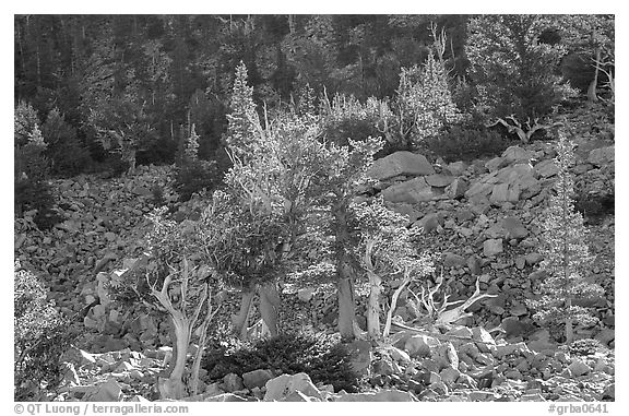 Bristlecone Pine trees and tallus, Wheeler cirque. Great Basin National Park (black and white)
