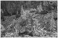 Bristlecone Pine trees and tallus, Wheeler cirque. Great Basin National Park ( black and white)