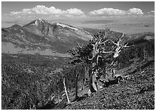 Bristlecone pine tree on slope overlooking desert, Mt Washington. Great Basin National Park ( black and white)