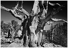 Bristelecone pine grove at the base of Wheeler Peak. Great Basin National Park ( black and white)