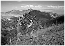 Bristelecone pines on Mt Washington, overlooking valley and distant ranges. Great Basin National Park ( black and white)