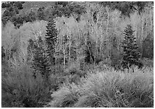 Tapestry of shrubs and trees in early spring. Great Basin National Park ( black and white)