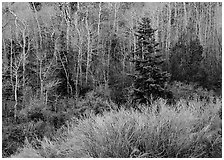Trees just leafing out amongst bare trees. Great Basin National Park, Nevada, USA. (black and white)