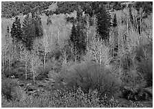 Bare trees, new leaves, and conifers. Great Basin National Park, Nevada, USA. (black and white)