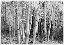Aspens, Snake Creek, autumn. Great Basin National Park ( black and white)