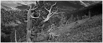 Bristlecone pine on rocky slope. Great Basin National Park (Panoramic black and white)
