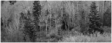 Spring mosaic of trees. Great Basin National Park (Panoramic black and white)
