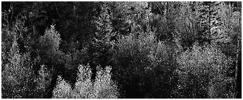 Backlit autumn leaves on hillside, Snake Creek. Great Basin National Park (Panoramic black and white)