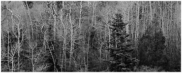 Trees in early spring. Great Basin National Park (Panoramic black and white)