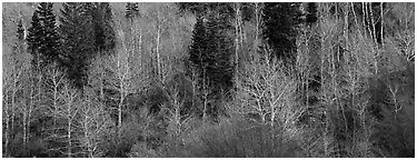 Bare trees in early spring. Great Basin National Park (Panoramic black and white)