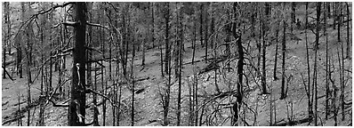 Burned forest. Great Basin National Park (Panoramic black and white)