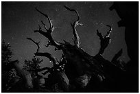 Twisted bristlecone pine and stars by night. Great Basin National Park ( black and white)