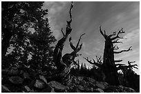 Bristlecone pine trees at twilight, Wheeler cirque. Great Basin National Park ( black and white)