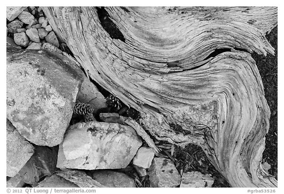 Ground close-up with quartzite, bristlecone pine cones and roots. Great Basin National Park, Nevada, USA.