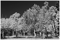 Trees in fall foliage. Great Basin National Park ( black and white)