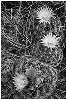 Cactus and pink blooms. Great Basin National Park ( black and white)