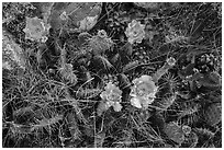 Close-up of cactus in blooms with fallen pinyon pine cones. Great Basin National Park ( black and white)