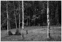 Aspen trees and meadow in summer. Great Basin National Park ( black and white)