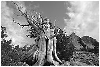 Bristlecone Pine tree, Wheeler Peak Basin, afternoon. Great Basin National Park, Nevada, USA. (black and white)