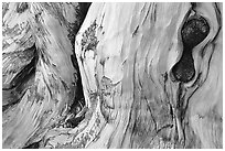 Detail of Bristlecone pine trunk. Great Basin National Park, Nevada, USA. (black and white)