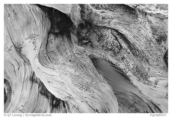 Detail of Bristlecone pine roots. Great Basin National Park (black and white)