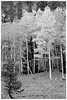 Aspen trees in fall color. Great Basin National Park, Nevada, USA. (black and white)