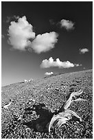 Tree squeleton and clouds on barren hill, morning. Great Basin National Park ( black and white)