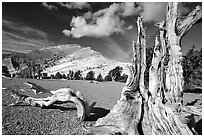 Weathered Bristlecone Pine squeleton and Mt Washington, morning. Great Basin National Park ( black and white)