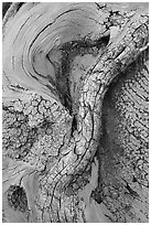 Bristlecone pine tree detail. Great Basin National Park ( black and white)