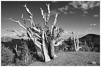 Tall Bristlecone pine trees, afternoon. Great Basin National Park ( black and white)