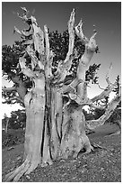 Ancient Bristlecone pine tree. Great Basin National Park ( black and white)