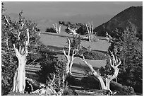 Grove of Bristlecone Pine trees, near Mt Washington late afternoon. Great Basin National Park ( black and white)