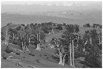 Bristlecone Pine trees grove, sunset. Great Basin National Park ( black and white)