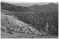 Slopes covered with Bristlecone Pines seen from Mt Washington, dawn. Great Basin National Park ( black and white)